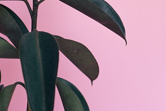 A rubber tree plant against a solid pink wall. This photo is by Scott Webb from Unsplash.